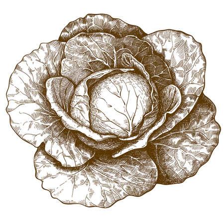 Repollo: ilustraci�n vectorial de la col grabado en el fondo blanco