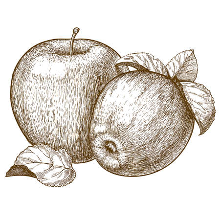 woodcut: vector engraving illustration of  two red apples and leaves