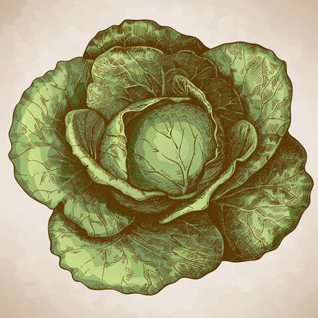 vector illustration of engraving cabbage on white background