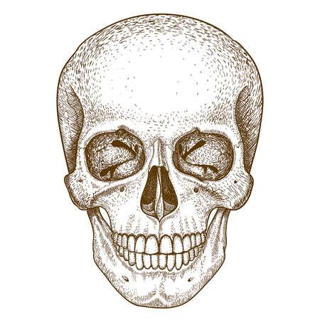 vector engraving illustration of  skull on white background Vector