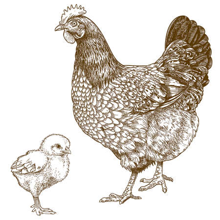 vector illustration of engraving chicken and chick on white background  Ilustracja