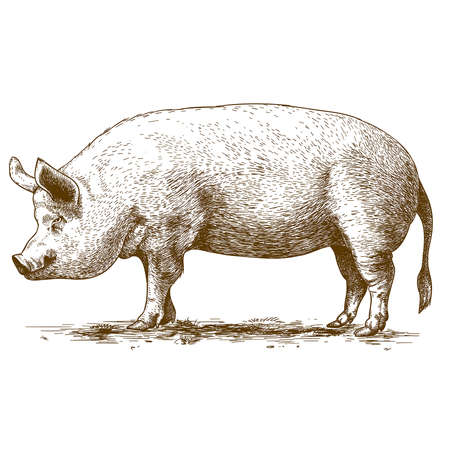 vector illustration of engraving big hog on white background