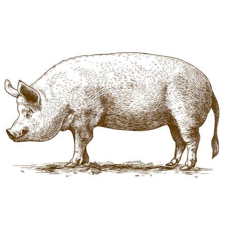 vector illustratie van het graveren grote varken op een witte achtergrond Stock Illustratie