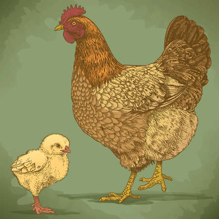 vector illustration of engraving chicken and chick on white background  Vector