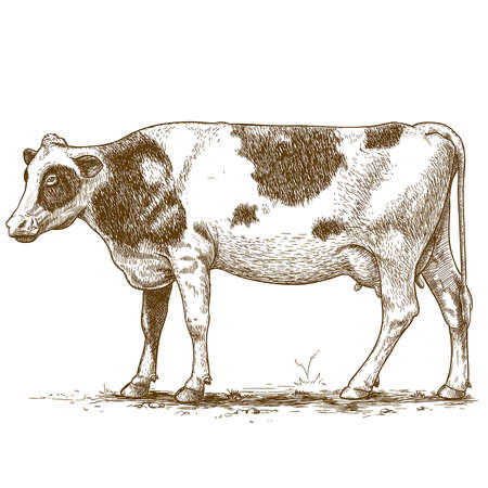 beef cattle: vector illustration of engraving cow on white background