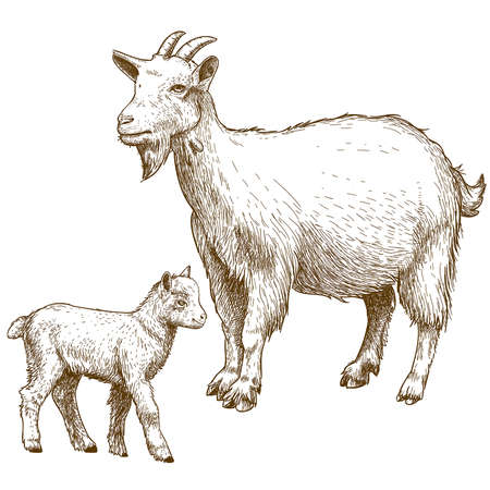 domestic goat: vector illustration of engraving goat and kid on white background