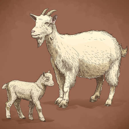 kid goat: vector illustration of engraving goat and kid on white background