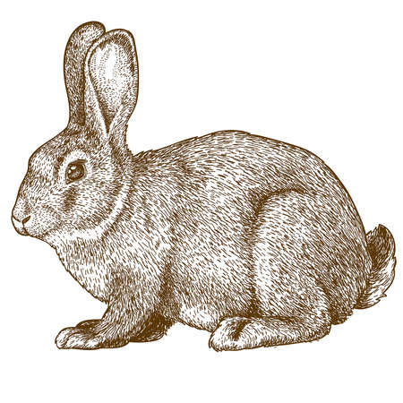 vector illustration of engraving rabbit on white background Ilustração