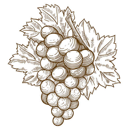 vector illustration of engraving grapes and leaf on the branch on white background Ilustração