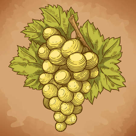 vector illustration of engraving grapes and leaf on the branch on white background Çizim