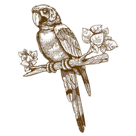 vector engraving big blue parrot on a branch on white background