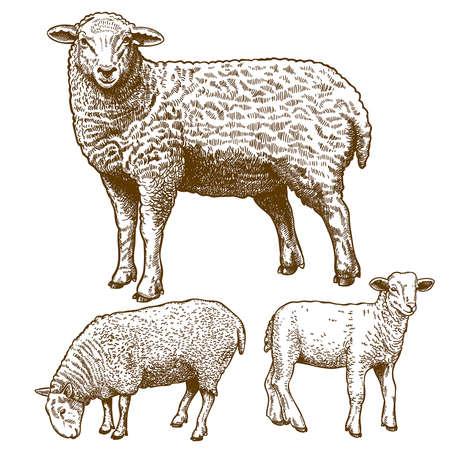 xilografia: ilustración vectorial de grabar tres ovejas en el fondo blanco