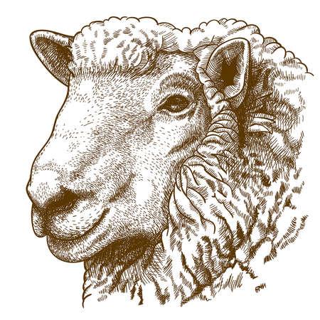 illustrazione vettoriale di testa da incisione di pecore su sfondo bianco