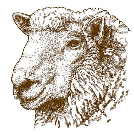 mutton: vector illustration of engraving head of sheep on white background