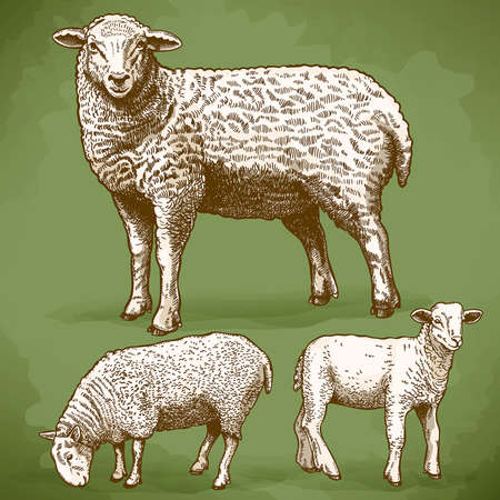 vector illustration of engraving three sheep in retro style Çizim