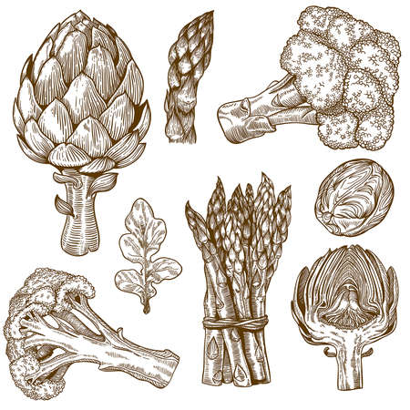 encyclopedias: vector set of engraving illustration green vegetables on white background