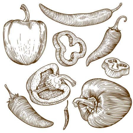 engraving vector illustration of many peppers on white background