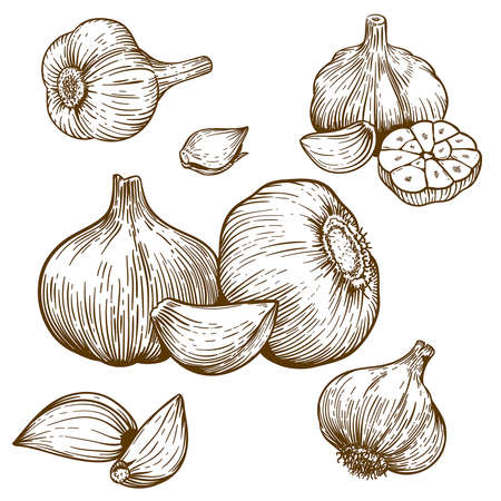 etching: engraving vector illustration of garlic on white background