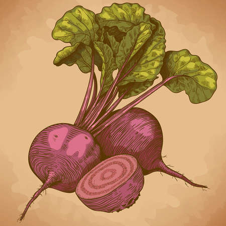 engraving vector illustration of beet in retro style 일러스트