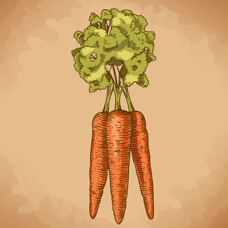 engraving vector illustration of carrot in retro style