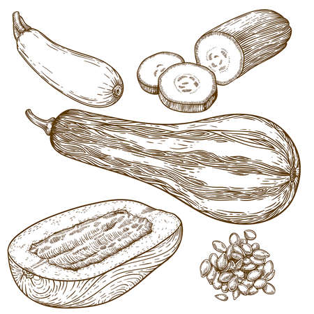 marrow squash: engraving vector illustration of many squash on white background