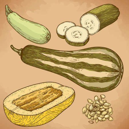 engraving vector illustration of many squash in retro style