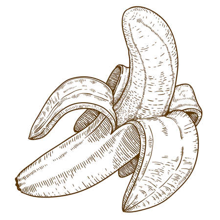 engraved image: engraving vector illustration of banana on white background