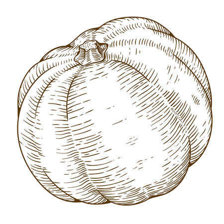 engraving vector illustration of big pumpkin on white background Vector