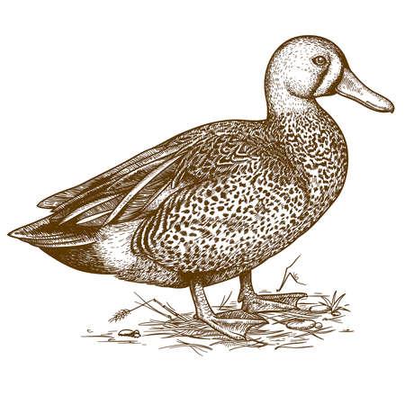 Ilustración vectorial de pato grabado sobre fondo blanco.
