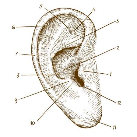 xilografia: ilustración vectorial de grabar oído humano en el fondo blanco Vectores
