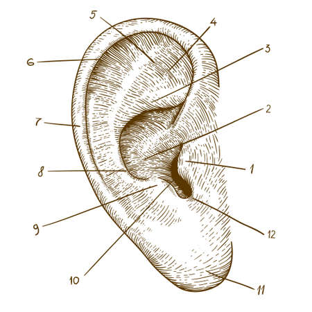 vector illustration of engraving human ear on white background Ilustração
