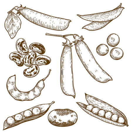 engraving vector illustration of beans and peas on white background Vector