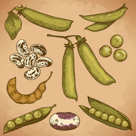 engraving vector illustration of beans and peas in retro style Vector