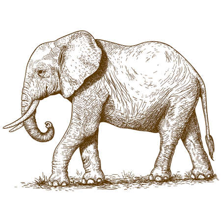 trunks: vector illustration of engraving elephant on white background