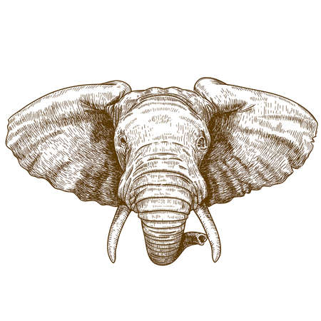 vector illustration of engraving elephant head on white background