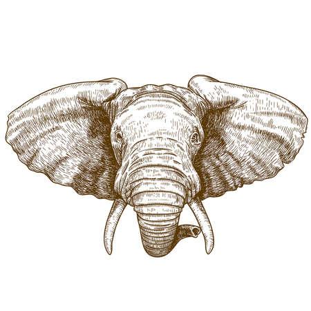 elefante: ilustración vectorial de cabeza de elefante grabado en el fondo blanco