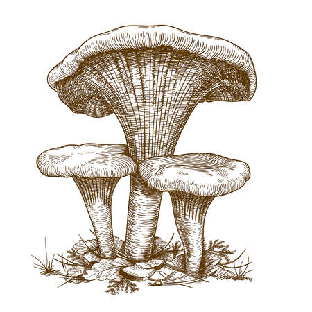 engraving vector illustration of three mushrooms