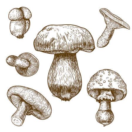 mycology: engraving vector illustration of mushrooms on white background