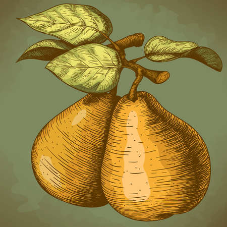 illustration of engraving pear and leaf on the branch in retro style