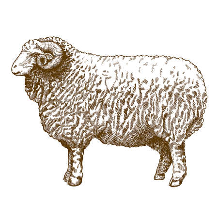 domestic life: vector illustration of engraving ram on white background