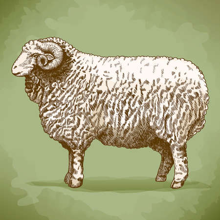 sheep skin: illustration of engraving ram in retro style