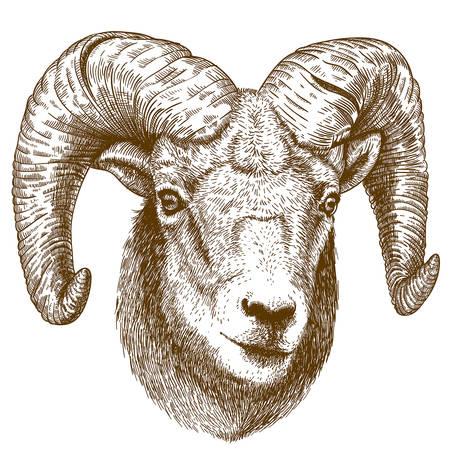 carnero: ilustración de la cabeza carnero grabado en el fondo blanco