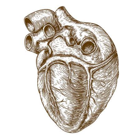 anatomia: corazón grabado en el fondo blanco Vectores