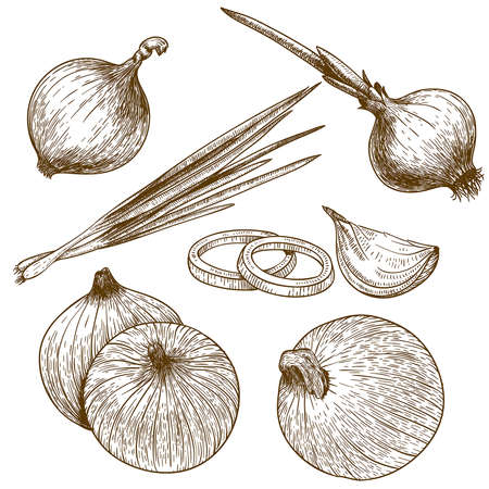 engraving vector illustration of onion on white background Ilustração