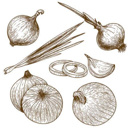 onion: ilustraci�n vectorial grabado de cebolla en el fondo blanco