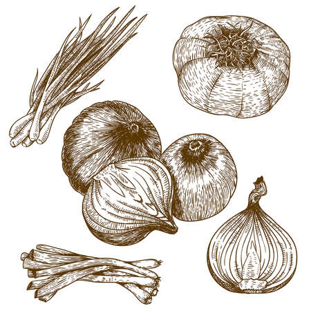 engraving vector illustration lots of onion on white background