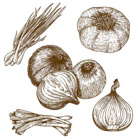 cebolla: grabado ilustraci�n vectorial mucha cebolla en el fondo blanco