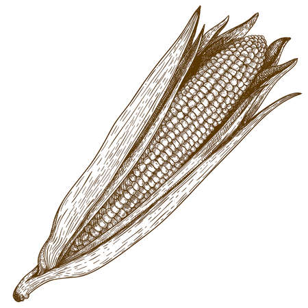 old fashioned vegetables: vector vintage retro engraving  woodcut illustration of corn on white background Illustration