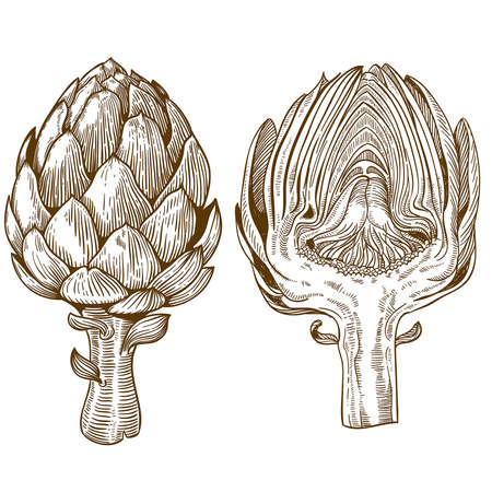 artichoke: vector set of engraving illustration green vegetables artichoke on white background