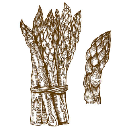 vector set of engraving illustration of asparagus on white background Ilustração